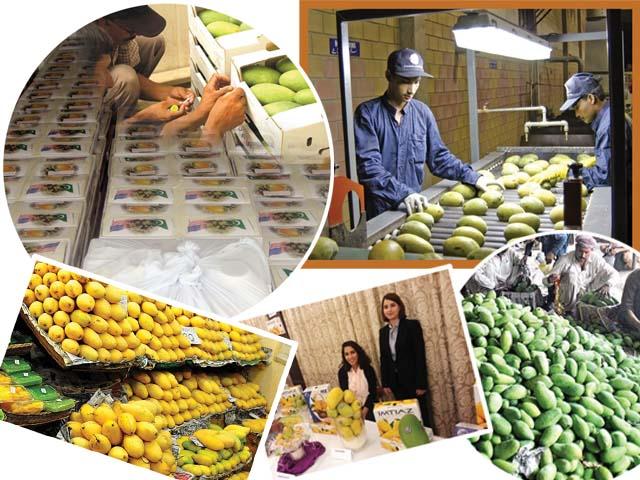 آم کی برآمدات پاکستان کو بھارت پر سبقت،یورپی منڈی میں قدم جمانے کاموقع