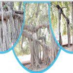 پاکستان میں برگد کا سب سے بڑا اور قدیم ترین درخت