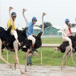 شتر مرغ دوڑ:کھیلوں کی دنیا میں ایک منفرد پہچان