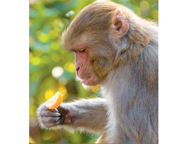 جنگلی بندر بادام توڑنے کے لیے اوزار استعمال کرنا کیسے سیکھے؟