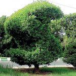 کراچی میں درجہ حرارت میں اضافے کاسبب کونوکارپس درخت