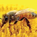 شہد کی مکھی کا شفا بخش زہر