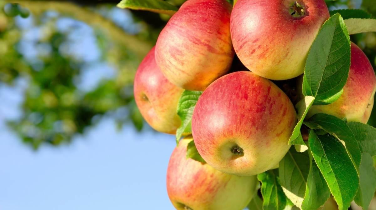 ْافغانی اور ایرانی سیب کی وزیرستان کے راستے اسمگلنگ
