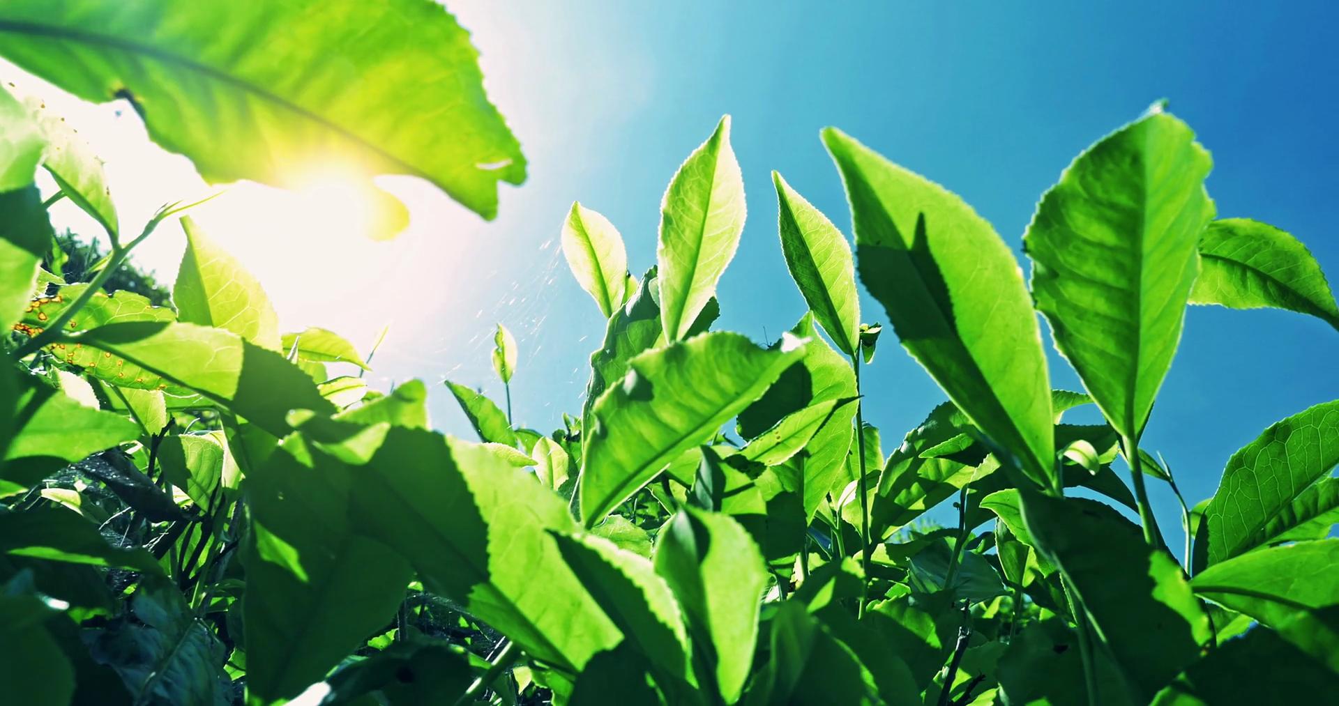 بھارت، چنی جانیوالی نایاب چائے کی قیمت 18ہزارروپے کلو