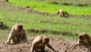 بھارتی کسان نے بندروں کو ڈرانے کیلئے پالتو کتے کو چیتا بنا دیا