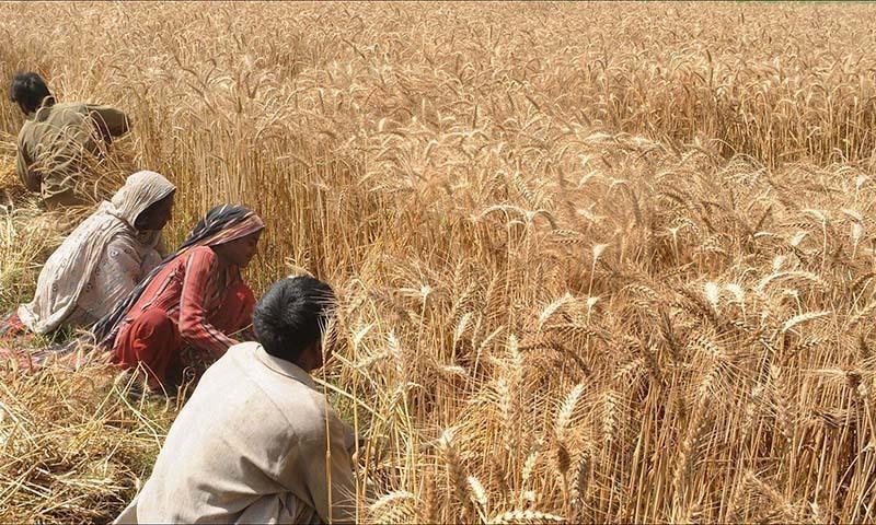 لاک ڈاؤن کے باعث پاکستان و بھارت میں فصل کی کٹائی میں تاخیر ، کسان پریشان