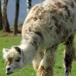 لاما میں پائے جانے والی اینٹی باڈیز سے کورونا کا علاج ممکن