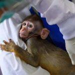 چین ،ویکسین کی کھوج کے دوران بندروں کی طلب میں اضافہ
