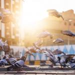 کیمرہ مین کی حرم مکی کے کبوتروں کی تصاویر بناکر اس پہلوکواجاگرکرنے کی کوشش