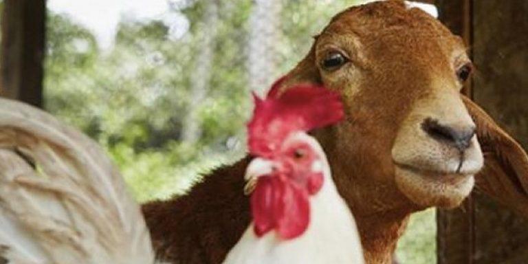 مرغیاں اور بکریاں پالنے کی ترکیب، سندھ نے 37کروڑ روپے صرف کردیے
