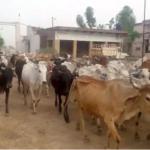 بھارت میں گائے کی پر اسرار ہلاکتیں،مزید 14ہلاکتوں کے بعد تعداد94ہوگئی